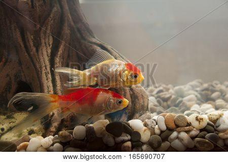 Two fish swim in a home aquarium