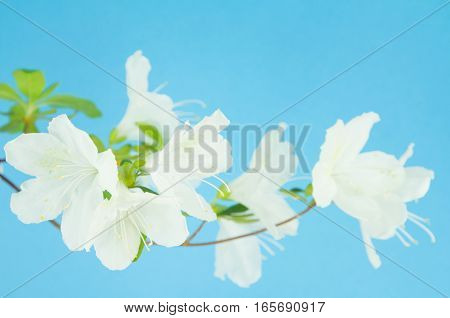 Curved branch with white azalea flowers and sky blue background.