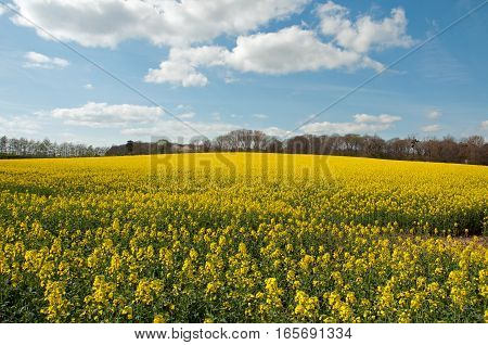 Canola crops in the summertime fields of England.