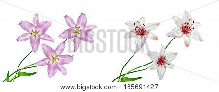 Flower lily isolated on white background. summer