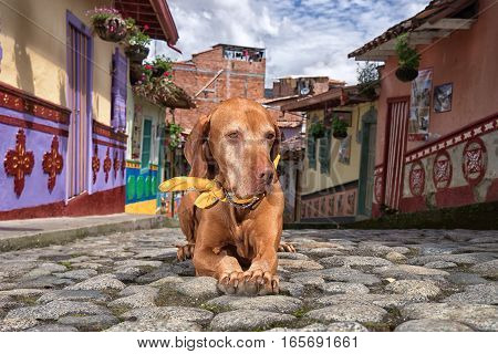 golden vizsla dog laying on the cobblestone street in the colonial town of Guatape Colombia