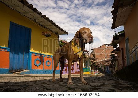 vizsla dog standing on the street in Guatape Colombia