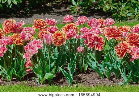 Flowerbed Of Fringed Tulips
