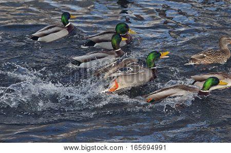 Wild duck - mallard on a lake. Beautiful  drake swimming along on a dark blue water.