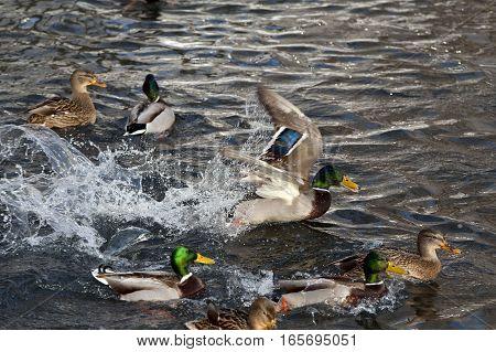 Wild duck - mallard on a lake. Beautiful  drake swimming along on a dark water.