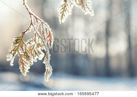 Branch Thuja Cypress Tree In Snow