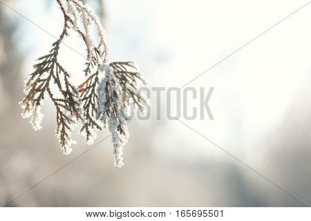Branch Thuja Cypress Tree In Snow