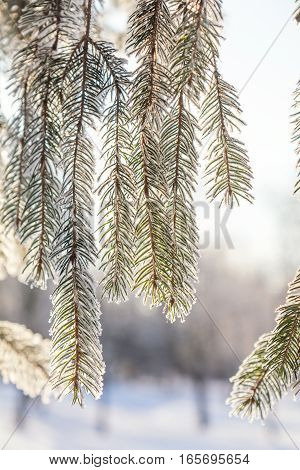 Branch Pine Tree In Snow