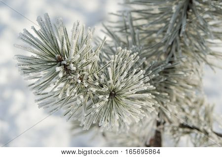 Coniferous  branches covered with hoarfrost. Pine with ice and snow, winter nature background.
