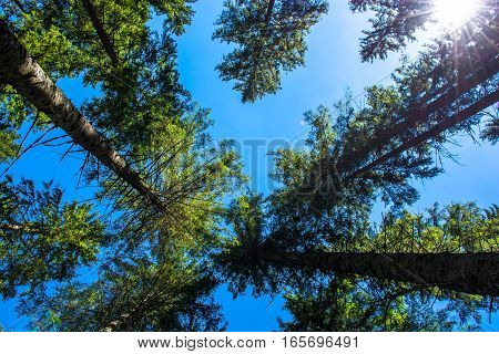 Forest with View to High Tree Crowns
