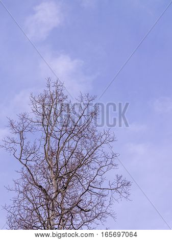 Aspen in winter with Blue Sky background