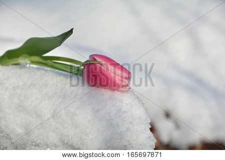 Pink tulip lies in the snow (Tulipa)