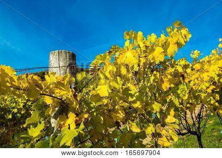 Sunlit Vineyard on a Hill in Autumn