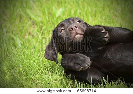 chocolate puppy of breed Labrador Retriever lying on the grass and folded legs like a Bunny