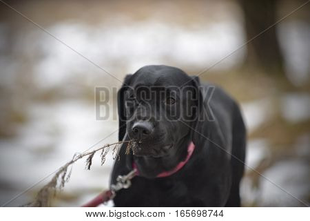 dog breed Labrador Retriever biting winter, the branch which sticks out of the snow