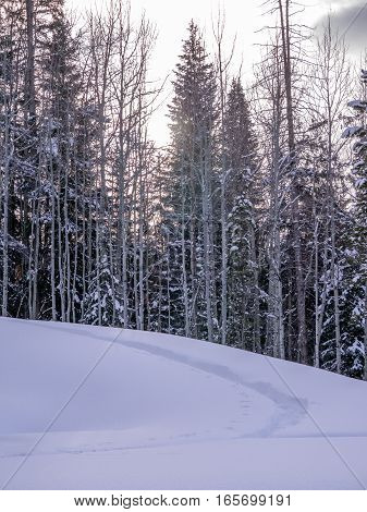 Aspen and pine trees with snow copy space