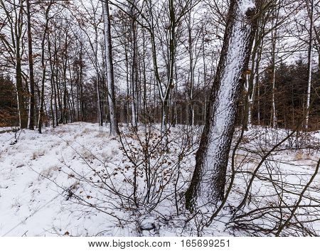 Tree trunks covered with snow. Moravian landscape Techov.