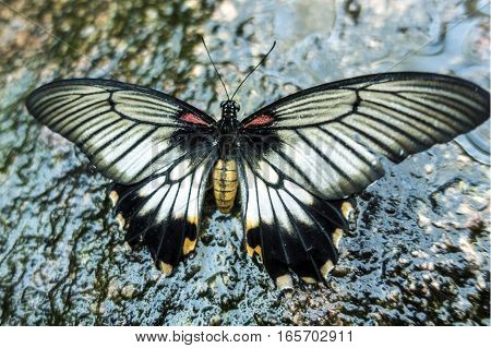 Rumanzovia Swallowtail Papilio Rumanzovia (female) Scarlet Mormon portrait