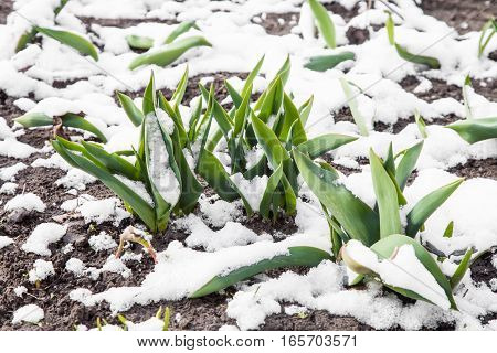 Green leaves of tulips growing out of the snow in early spring