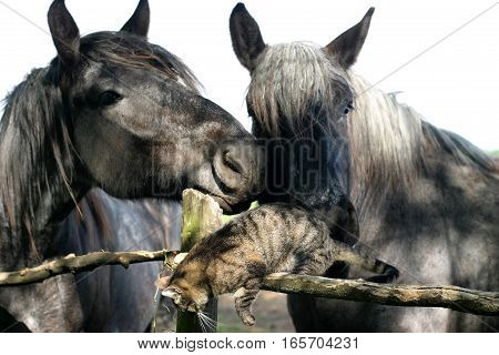 Old horses playing a cute little kitten cat on animal farm