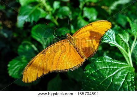 Butterfly Julia, (Dryas iulia) perching on a leaf