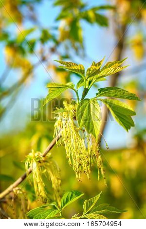 Box elder maple or Acer negundo flower in spring in the rays of the bright sun. Natural phorography.