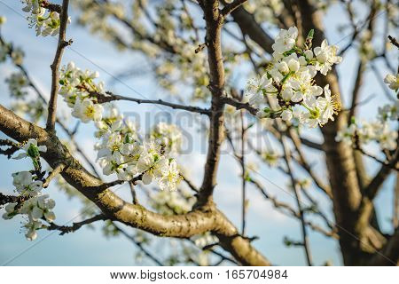 Spring blossoming white spring flowers on a plum tree. Natural phorography.