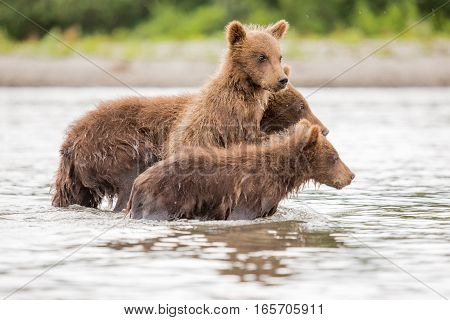 Three Little Bear Cub Swimming In The Lake