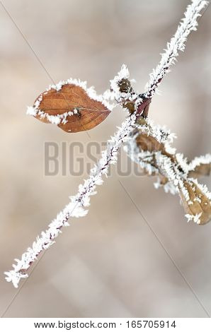 Frost on branches. Leaf covered with hoarfrost.Beautiful winter seasonal natural background.Winter landscape