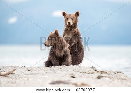 Small cubs playing on the lake (Kuril lake, Kamchatka, Russia)