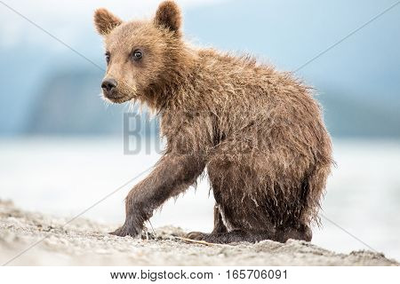 Little bear cub is on the lake (Kuril lake, Kamchatka, Russia)