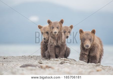 Portrait of adorable little bears (Kuril lake, Kamchatka, Russia)