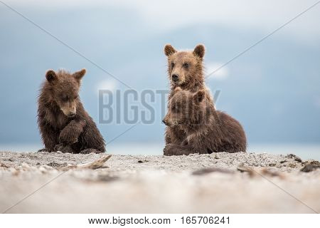 Little Cubs Waiting For His Mother Bear