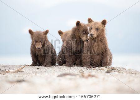 Portrait of an adorable little bears (Kuril lake, Kamchatka, Russia)