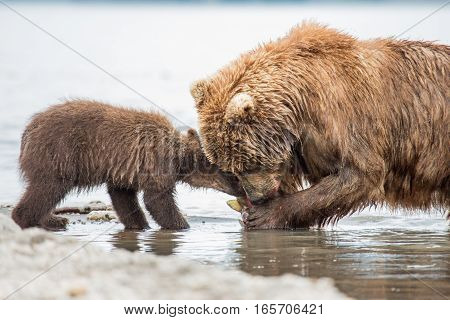 Mama bear and her cubs (Kuril lake, Kamchatka, Russia)