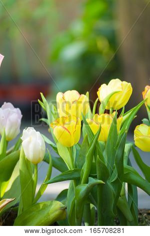 Tulip. Beautiful Bouquet Of Tulips. Colorful Tulips.