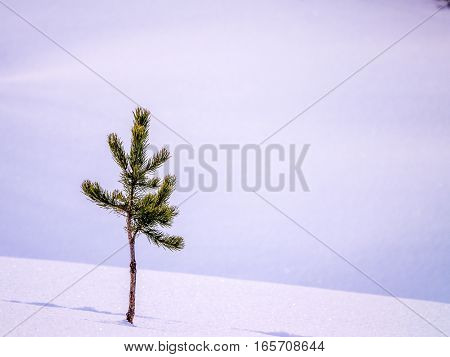 Small pine alone in snow with tracks