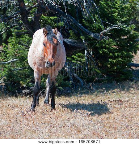 Red Roan Band Stallion wild horse in the Pryor Mountain Wild Horse Range in Montana USA