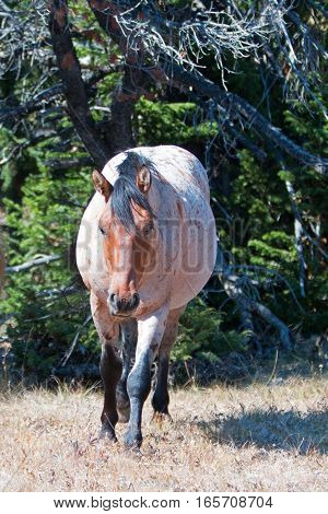 Red Roan Stallion wild horse walking out of the trees in the Pryor Mountain Wild Horse Range in Montana USA