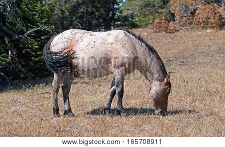 Red Roan Wild Stallion grazing in the Pryor Mountain Wild Horse Range in Montana USA