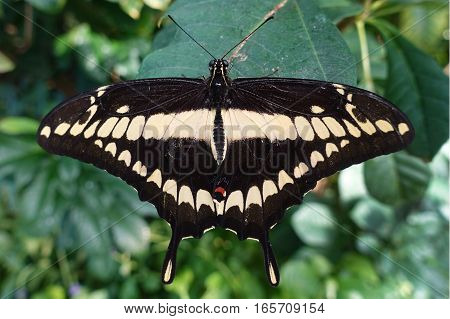 Giant swallowtail butterfly Papilio cresphontes, close up