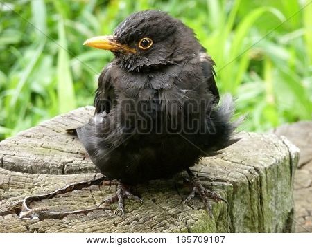 Picture of a sick blackbird sitting on a wooden stump