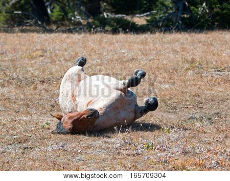 Red Roan Wild Stallion rolling in the dirt in the Pryor Mountain Wild Horse Range in Montana USA