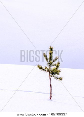 Solitary tree in fresh snow with animal tracks