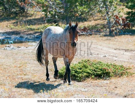 Red Roan Stallion feral wild horse mustang in the Pryor Mountain Wild Horse Range in Montana USA