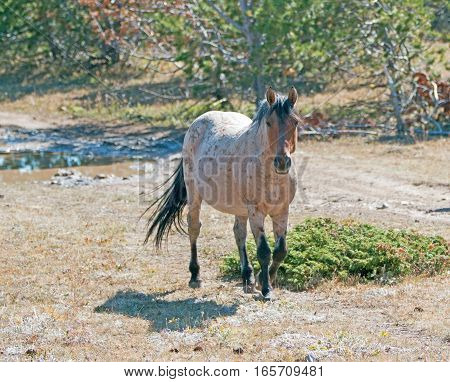 Red Roan Stallion wild feral horse in the Pryor Mountain Wild Horse Range in Montana USA