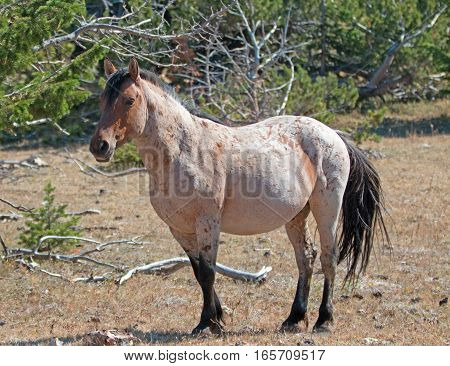 Red Roan Stallion feral wild horse in the Pryor Mountain Wild Horse Range in Montana USA