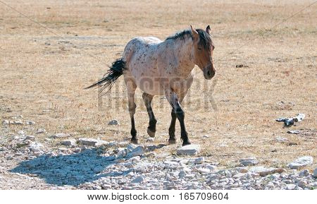 Red Roan Stallion wild horse in the Pryor Mountain Wild Horse Range in Montana US