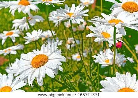 White bright daisy flowers on a background of the summer landscape.