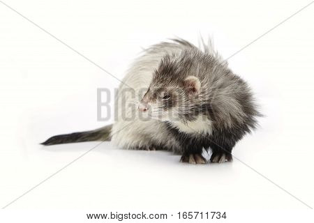 Grey angora ferret on white background posing for portrait in studio